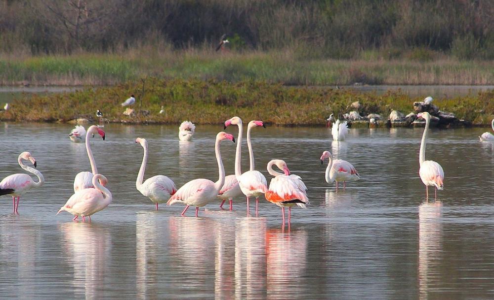 Flamingo's in het water