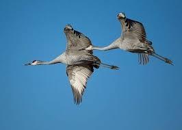 Kraanvogels in Puglia