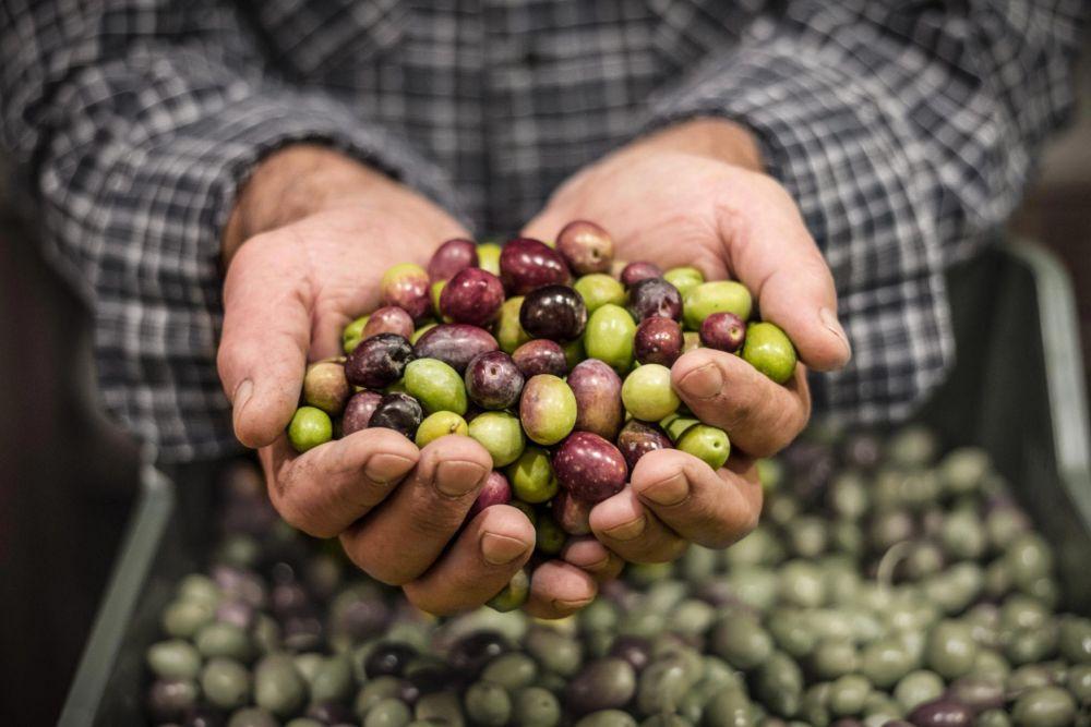 Een handje olijven zo van de boom B&B Villa Lavanda Puglia