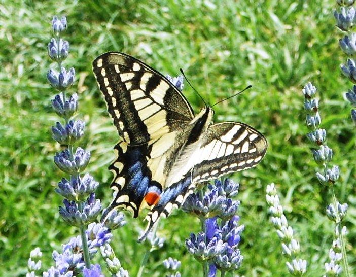 Vlinder lavendel contact pagina
