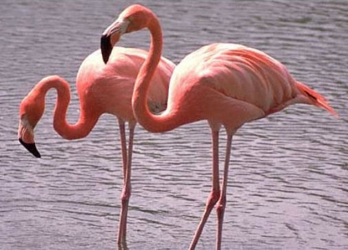 Flamingo's bij Torre Guaceto en Margherita di Savoia