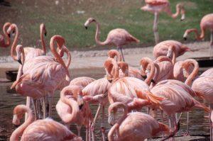 Flamingo's in Torre Guaceto en een vaste kolonie bij de Saline van Margherita di Savoia